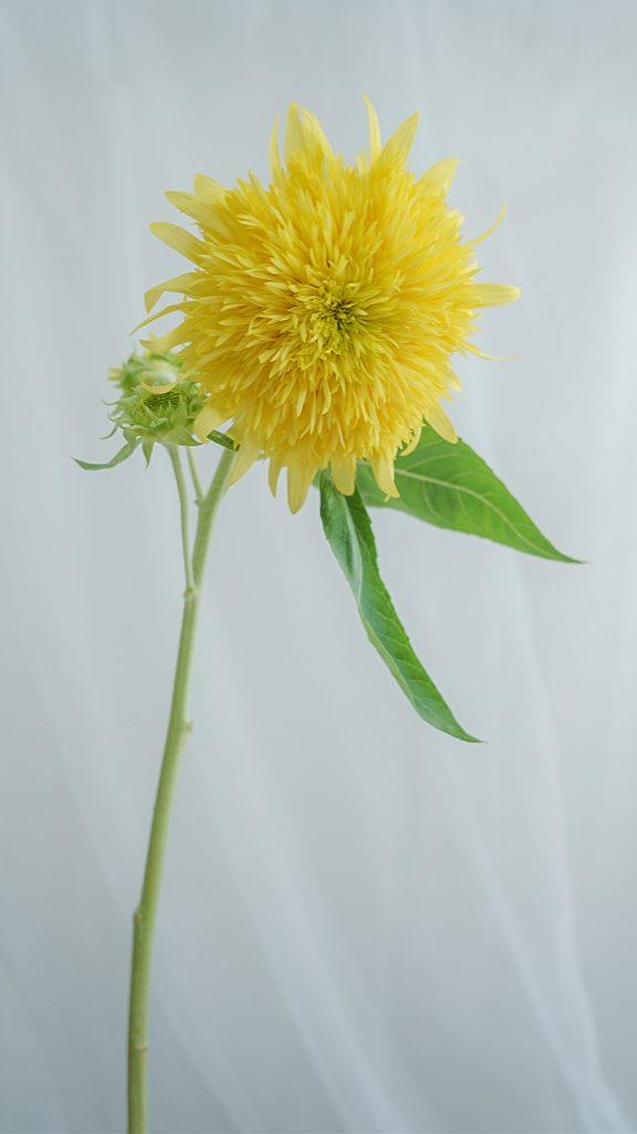 向日葵(ひまわり)/sunflower