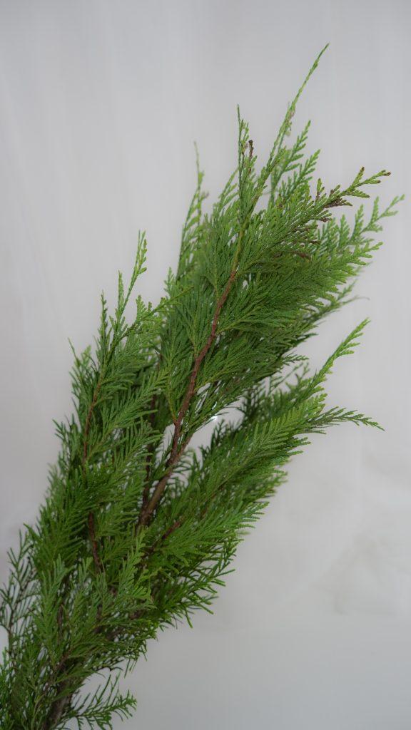 匂檜葉(ニオイヒバ)/thuja occidentalis