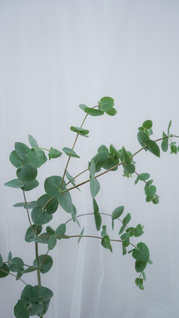 ユーカリ/eucalyptus