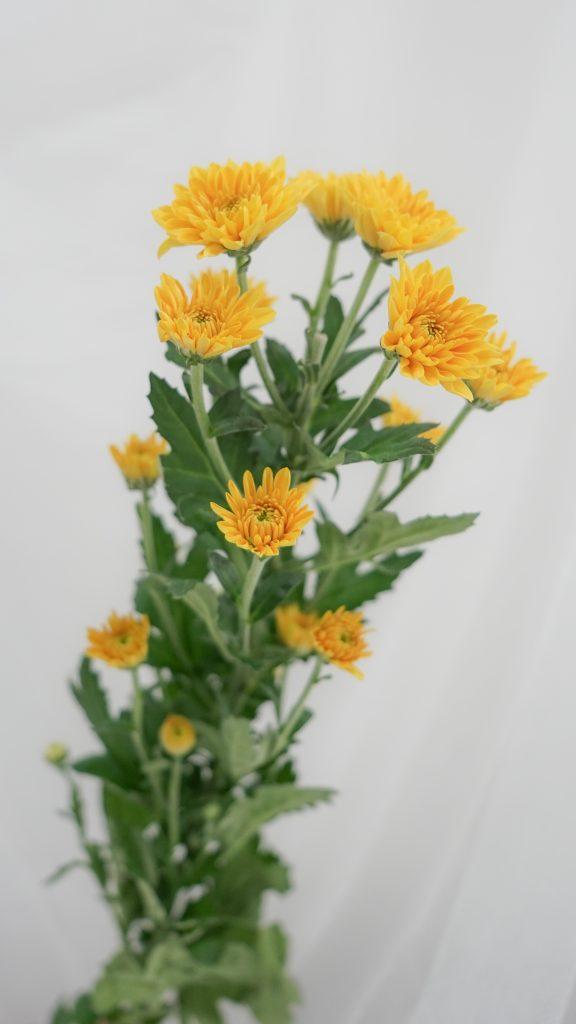 菊(キク)/Chrysanthemum Mum