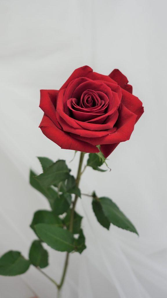 薔薇(バラ)/rose