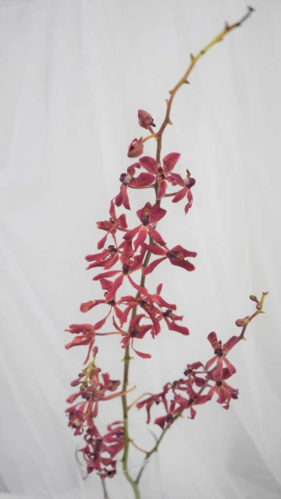 レナンセラ/renanthera