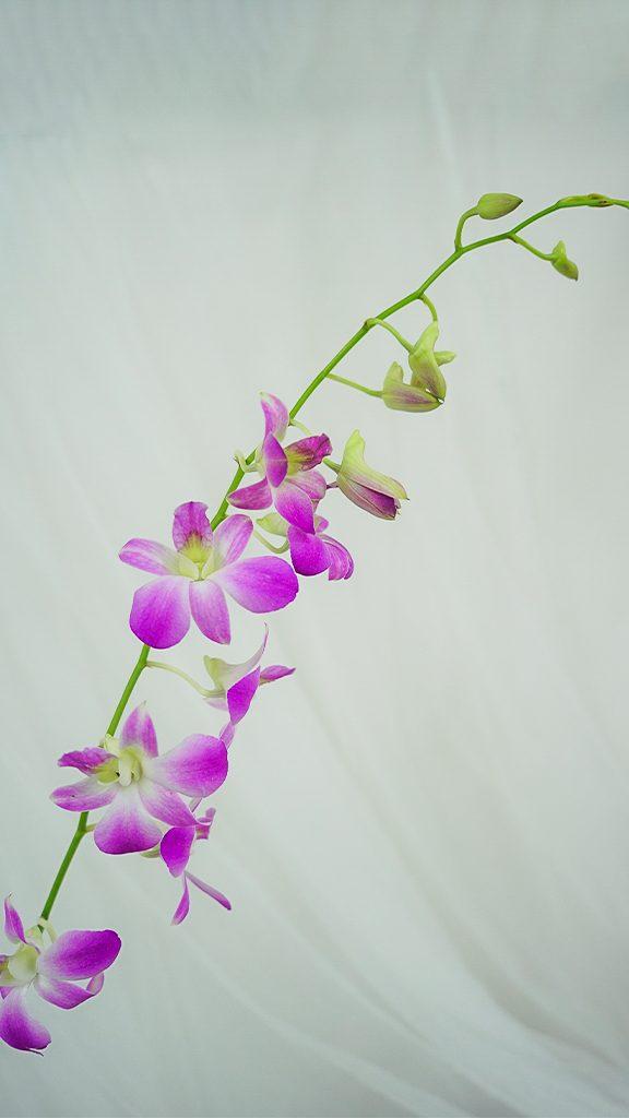 デンファレ/dendrobium phalaenopsis