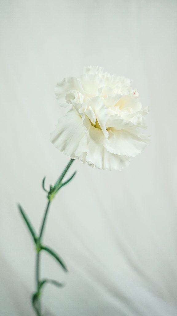 カーネーション/carnation