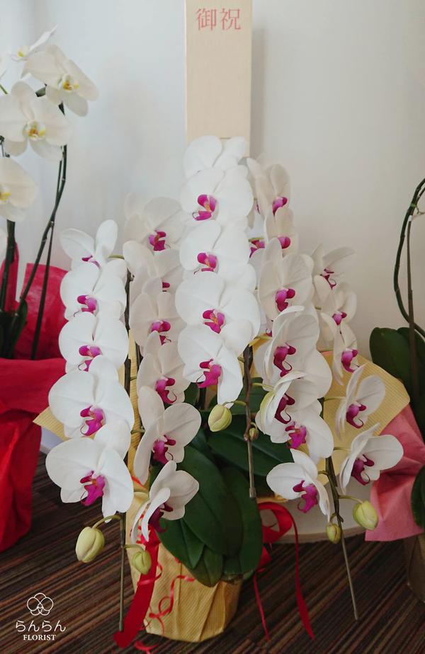 新開歯科医院様へ大輪胡蝶蘭を納品しました[開院祝い花]