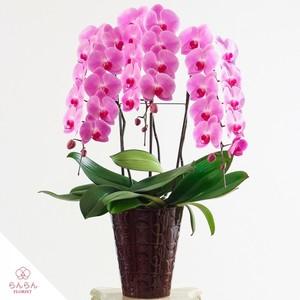 大輪胡蝶蘭 3本立36輪以上 ピンク【全国配送】