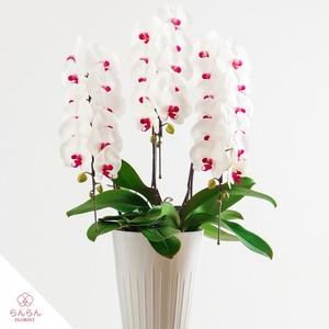 紅白大輪胡蝶蘭 3本立30輪以上 (赤リップ)【全国配送】