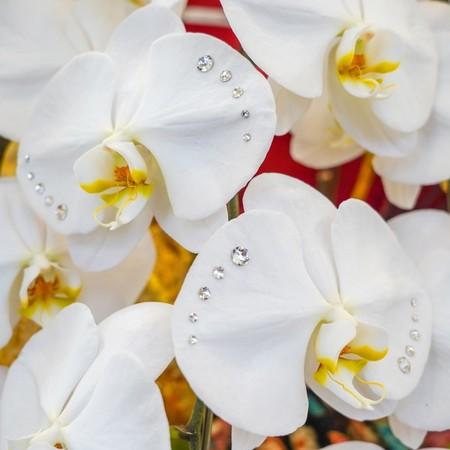 【福岡限定】風雅【FUGA】 スワロフスキープレミアム大輪胡蝶蘭 3本立 和モダン風呂敷