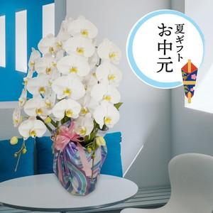 [予約販売]大輪胡蝶蘭 3本立 白 お中元アレンジ