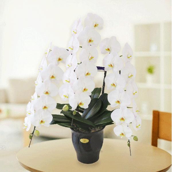 大輪胡蝶蘭 3本立30輪 白