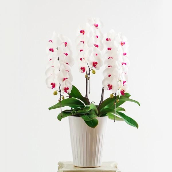 紅白大輪胡蝶蘭 3本立30輪以上 (赤リップ)