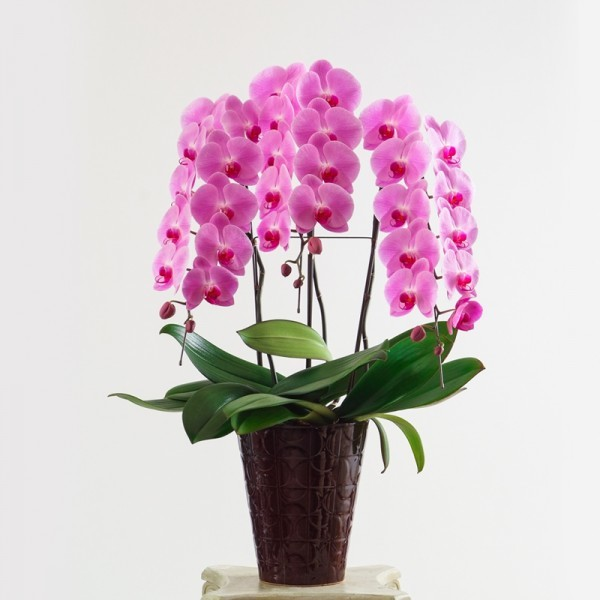 大輪胡蝶蘭 3本立30輪 ピンク【全国配送】